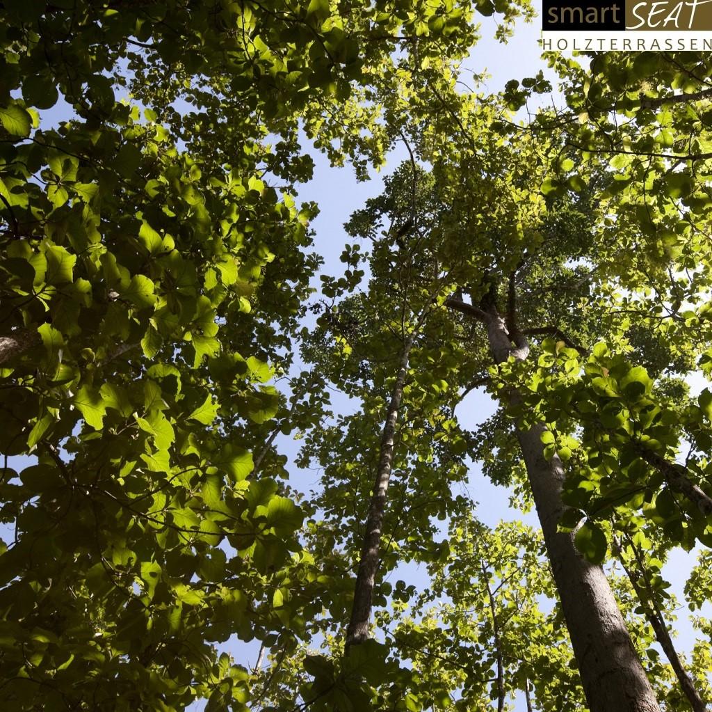 Teakbaum  Teak Baum - Holzterrassen Bilder